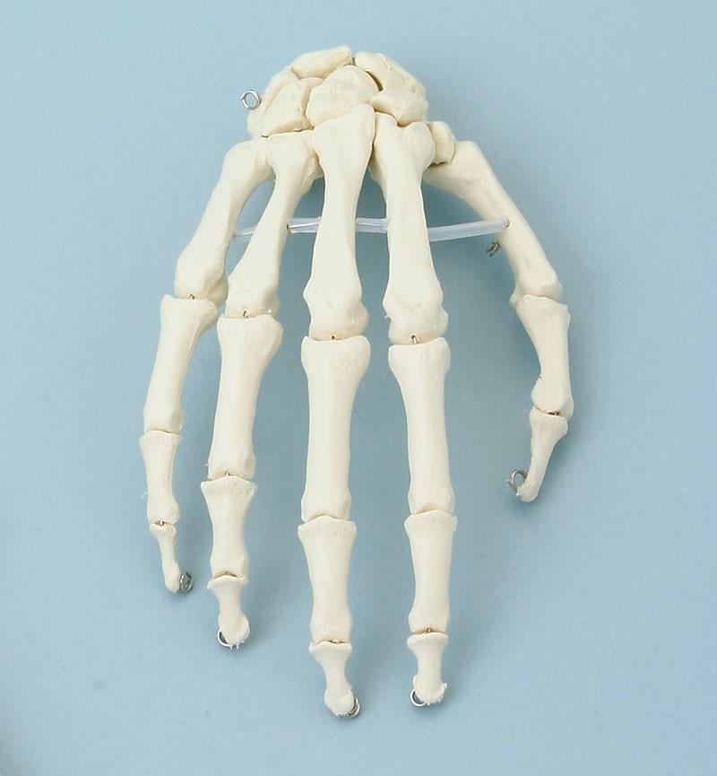 Skeleton of hand
