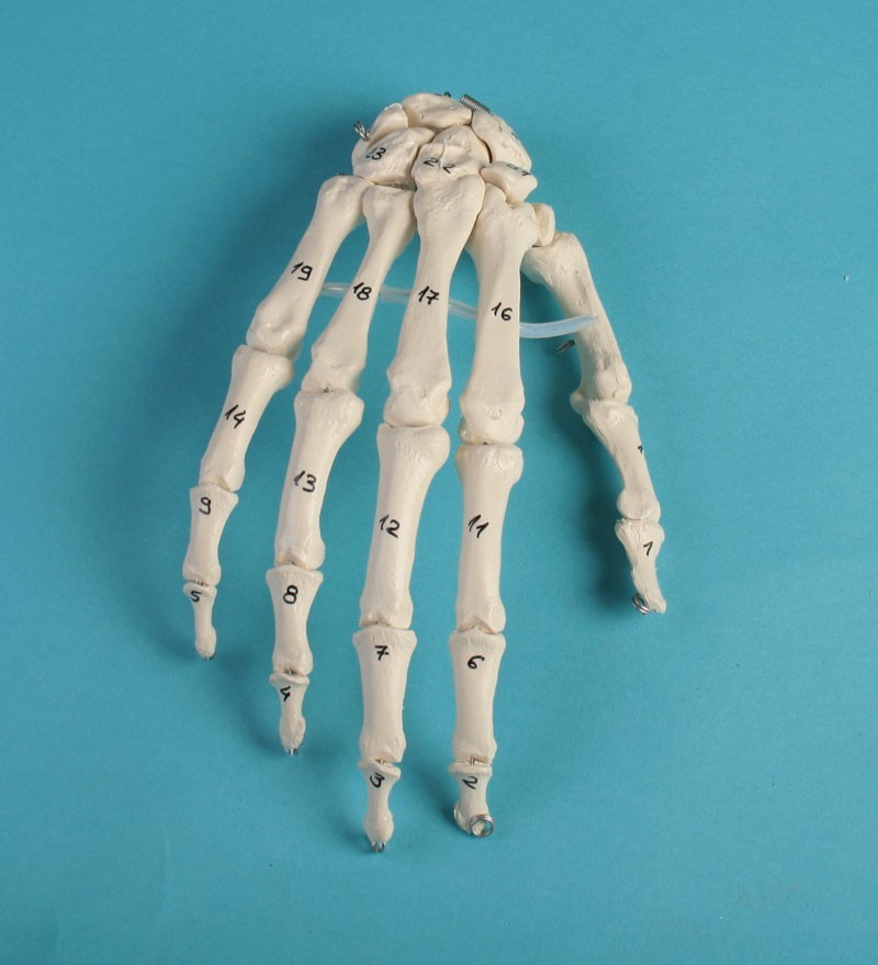 Skeleton of the hand with bone numbering