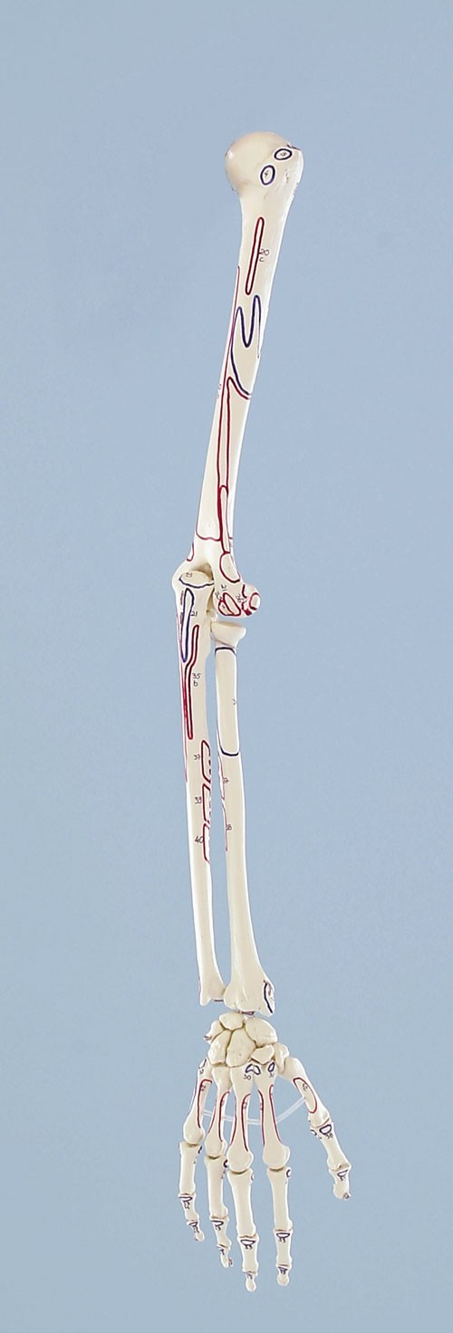 Skeleton of arm with musclemarking