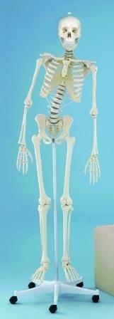 Skelet natuurlijk