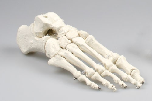 Skeleton of foot