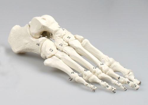 Skeleton of foot, numbered