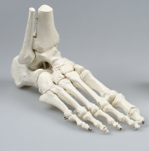 Skeleton of foot with tibia and fibula insertion