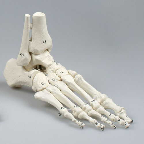 Skeleton of foot with tibia and fibula insertion, numbered