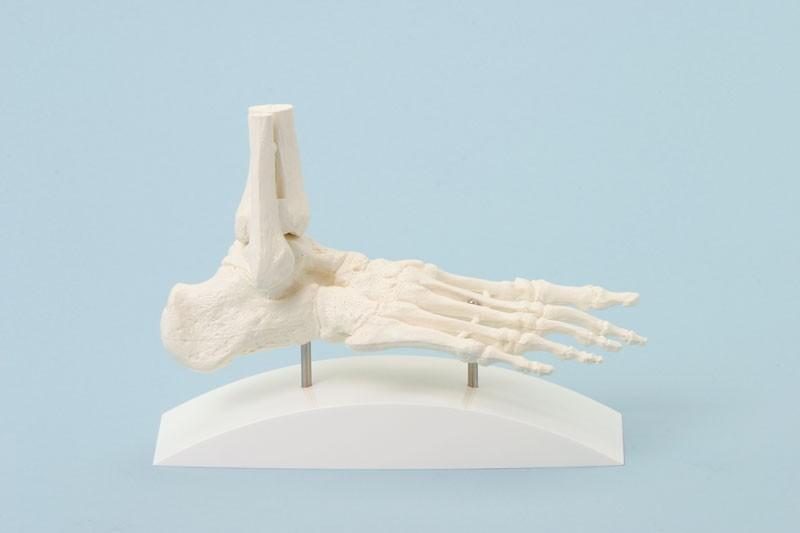 Foot, block model