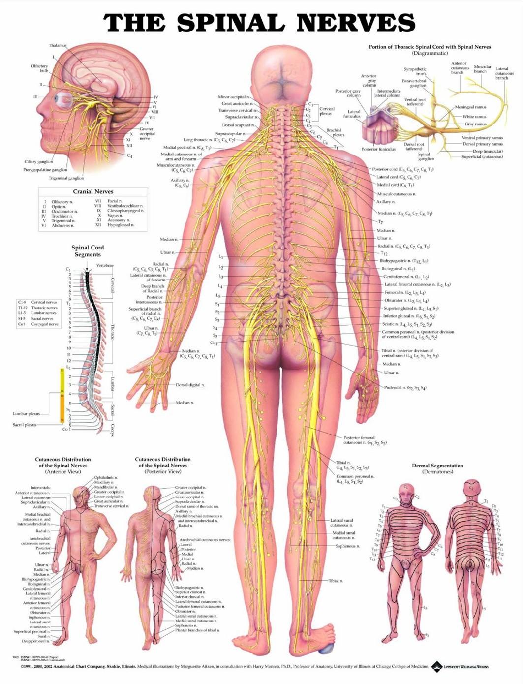 Poster The Spinal Nerves - zwaar papier